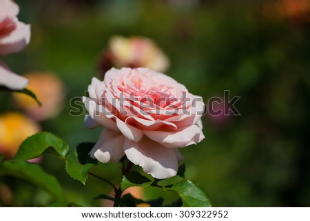 Rose bush with lots of pink roses in bloom, soft focus - stock photo