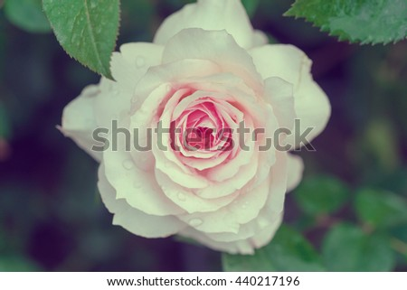 Rose bush with white flower. Toned - stock photo