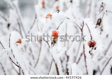 Rose bushes covered with white snow and frost - stock photo