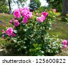 rose bushes in the garden - stock photo