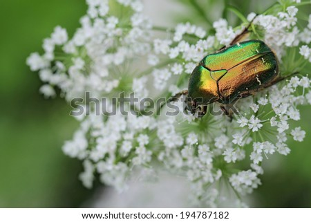 Rose chafer (Cetonia aurata) in white-flowered  - stock photo