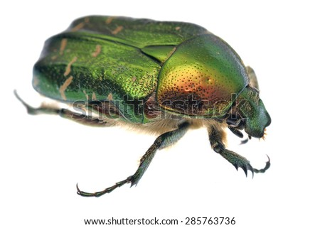 Rose chafer Cetonia aurata isolated on white. - stock photo