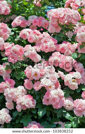Rose: Climbing Sakura Gasumi - stock photo