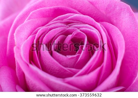 Rose close-up as background.Beautiful Rose Flower.Pink rose macro close up