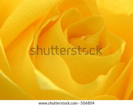 Rose closeup - stock photo