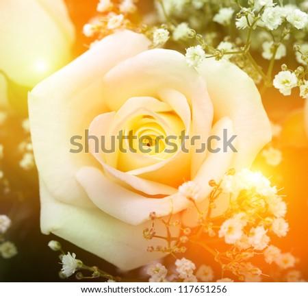 rose flower - stock photo
