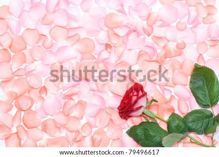 Rose flower and the petals all over background - stock photo