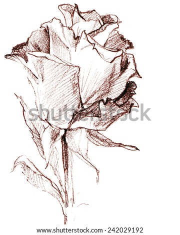 Rose flower background for congratulations. pencil sketch