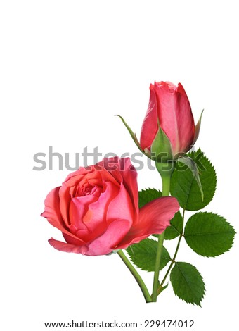 Rose flower, bud and leaf isolated on white background - stock photo