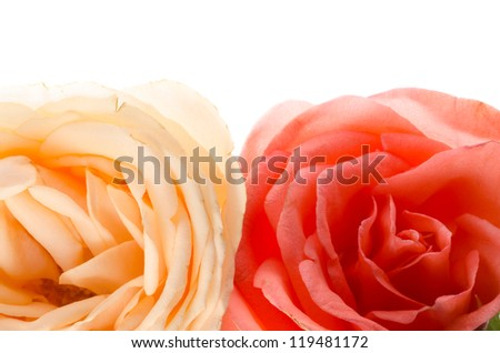 rose flower isolated on white - stock photo