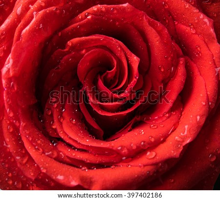 rose flower with water drops