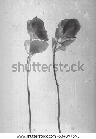 Rose Flowers Daguerreotype Style Film Grain Vintage Photography Black And White
