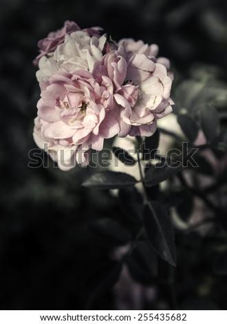 Rose Flowers in the design of natural dark tones. - stock photo
