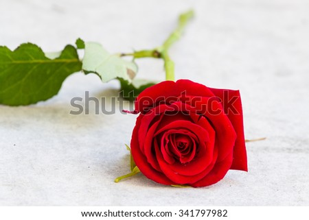 Rose fresh red color and beautiful on the marble table - stock photo
