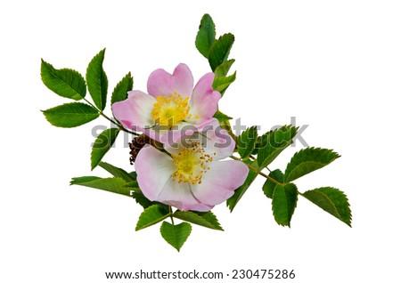Rose hip - stock photo