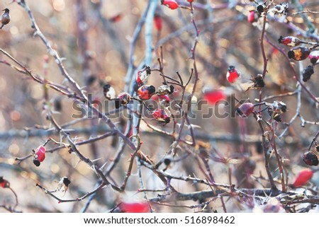 rose hip berries in winter