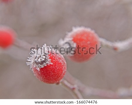 Rose hips covered with hoarfrost. - stock photo