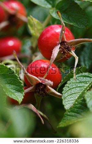 Rose hips/ dogrose/ Briar growing on plant, Swiss Alps - stock photo