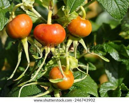 Rose hips from rugosa rose - stock photo
