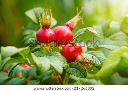 Rose hips  on green background - stock photo