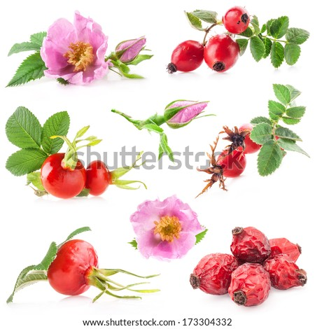 Rose hips (Rosa canina) flowers and fruits isolated on white background - stock photo