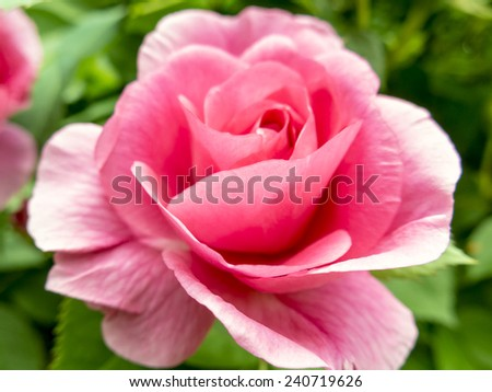 Rose in Bloom Closeup Outdoors - stock photo