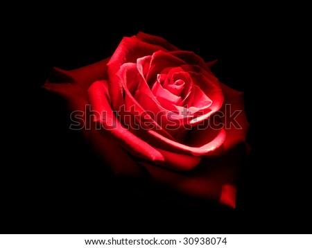 Rose in dark. Element of design. - stock photo