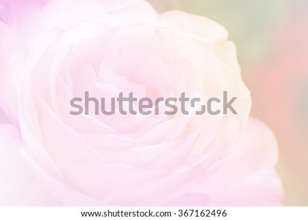 rose in sweet and soft color blur style use for flora background