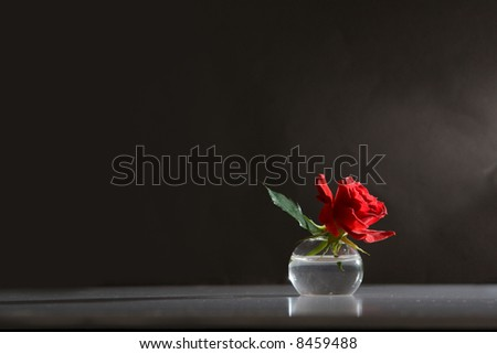 rose in the sunlight - moody background - stock photo