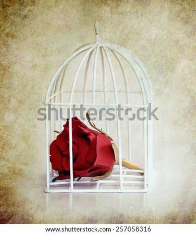 Rose in the white cage on old grunge background,lonely flower to holiday card  - stock photo
