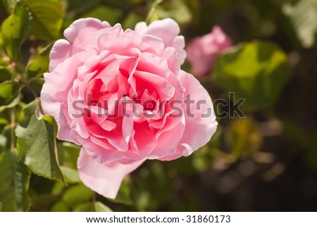 Rose is a perennial flower shrub or vine of the genus Rosa, within the family Rosaceae.