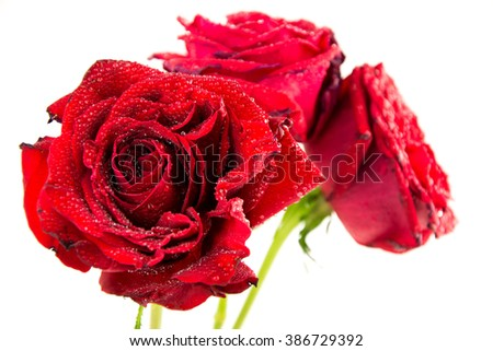 rose is with drops of dew / beautiful red rose on white background with drops / Red rose with rain drops isolated on white background.