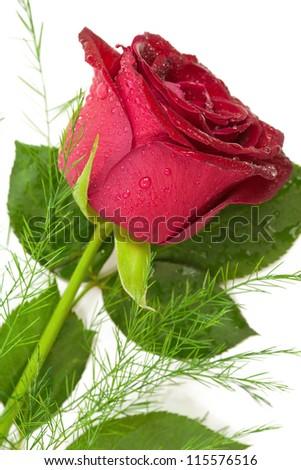 rose isolated on white background closeup macro - stock photo