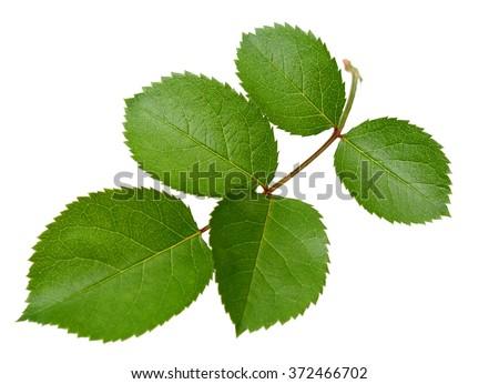 Rose leaf - stock photo