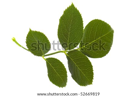 rose leaf isolated on the white background