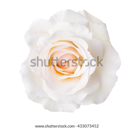 Rose of cream color isolated on white background. - stock photo