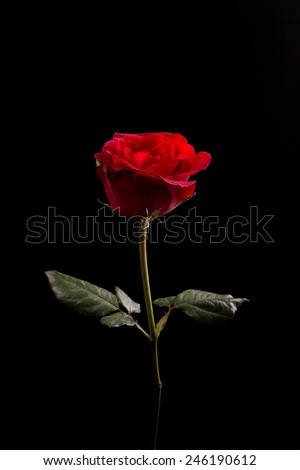 Rose on back background. Give rose to darling in valentine's day. or send love to marry. - stock photo