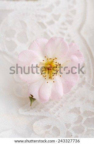 rose on lace - stock photo