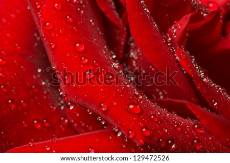 Rose petals in the water droplets. Close-up. - stock photo