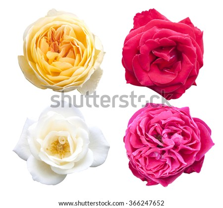 Rose pink flowers isolated on white background. - stock photo