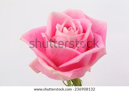 Rose pink on white background