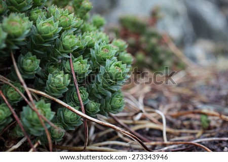 Rose root at spring, soon to start blooming. Wild-growing plant photographed at Norwegian coast. - stock photo