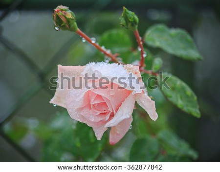 Rose sheltered snow. Flowers and gardens - stock photo