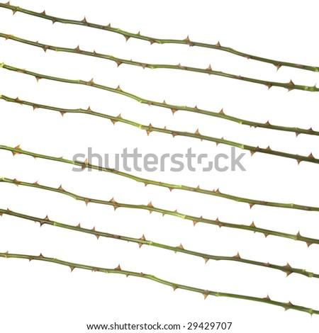 rose thorny stalks isolated on white - stock photo