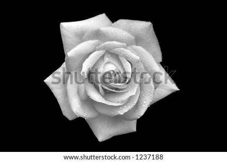 Rose with droplets of water in black and white - stock photo