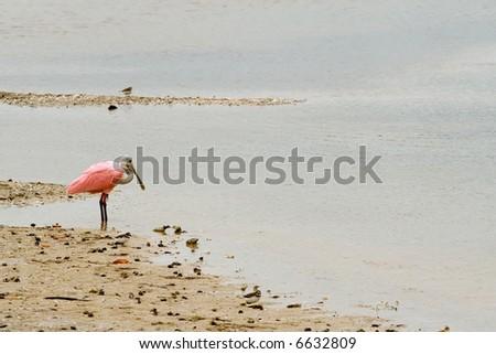 Roseate Spoonbill - stock photo