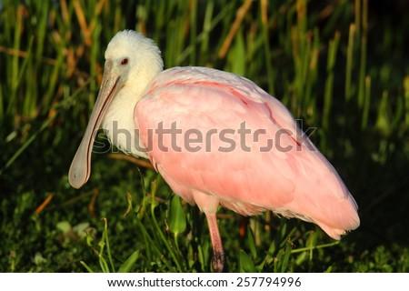 Roseate Spoonbill (Platalea ajaja) in the Florida Everglades - stock photo