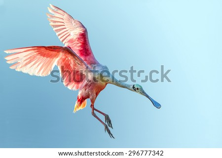 roseate spoonbill with wings flared and preparing to land in florida everglades, shown at low angle against blue sky background