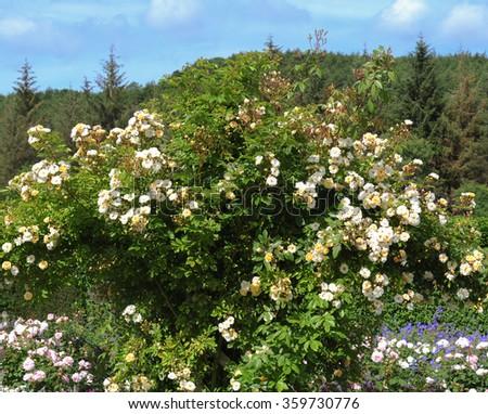 Rosebush of White Roses (Rosa) in an English Country Cottage Rose Garden in Devon, England, UK - stock photo