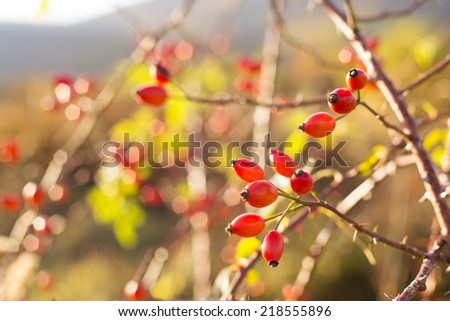 rosehip berries - stock photo